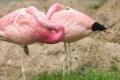 كيف تنام طيور الفلامينغو واقفة على ساق واحدة؟.. السر الذي حيّر العلماء كثيراً وكشفه طائر ...