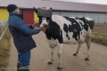 """أبقار ترتدي نظارات الواقع الافتراضي لغرض """"لا يخطر على بال"""""""