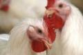 كان الله في عون الغلابة... كيلو الدجاج وصل الى 22 شيكل في الضفة الغربية