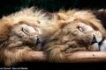 شاهد الصور.. الأسود أكثر الحيوانات إخافة، إلا أنها تتحول عند نومها تتحول الى أطفال ...