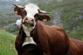 """""""أجراس الأبقار"""" تحرم دنماركية من الجنسية السويسرية"""