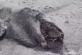 جثة وحش غامض تثير الذعر على شواطئ نيوزلندا