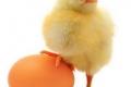 سجال لا ينتهي... الدجاجة قبل أم البيضة؟