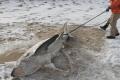 أمواج البحر تلفظ أسماك قرش متجمدة