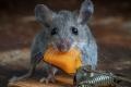 هل الفئران تحب الجبنة حقاً أم هو خرافة وخطأ كبرنا معهما؟؟