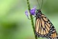 """""""الفراشات الملكية"""" تقترب من الانقراض"""