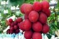 بسعر يتجاوز 6000 دولار للقطف... عنب الروبي الروماني أغلى فاكهة على الإطلاق.. شاهد الصور