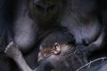 قصة مصورة : غوريلا ترضع رضيعها في حديقة حيوانات العاصمة التشيكية براغ