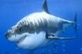 العثور على أول سمكة قرش مهجنة في أستراليا