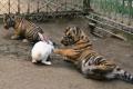 """بالصور.. """"أرنب النينجا"""" يحارب ببسالة النمور"""