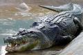 بالفيديو: تمساح ضخم يفترس سلحفاة في النهر