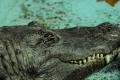 قصة أكبر تمساح في العالم: نجا من الحرب العالمية ومازال على قيد الحياة