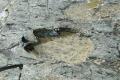 آثار لقدم ديناصور في القطب الجنوبي