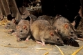 بإستخدام السم نهاراً وبقاذفات الدبابيس ليلاً... طهران تشعل حرباً ضروس ضد 25 مليون فأر بحجم ...