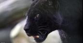 """فرنسا: اصطياد نمر أسود """"لص"""" يتجول على أسطح المنازل"""