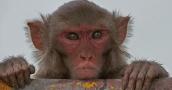 عاصفة أخلاقية بين العلماء.. الصين تستخدم جينا بشريا في القرود