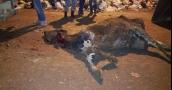 أمر مقزز.. ضبط شاحنة محملة ببقرة ميتة كانت معدة للتسويق بنابلس