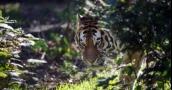 """نمر سيبيري يحير الخبراء.. خرج من الغابة يطلب """"نجدة بشرية"""""""