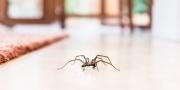 لماذا لا يجب عليك قتل العناكب عند رؤيتها في منزلك؟