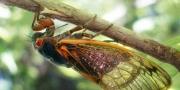تخرج كل 17 عاما وتصدر ضجيجا عاليا.. حشرات الزيز تستعد لغزو أ ...
