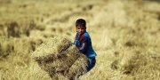 العراق يحظر زراعة الأرز.. لهذا السبب