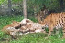 شاهد.. نمر يتعرض لافتراس مروع في حديقة حيوان