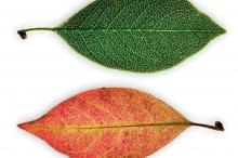 هل تصاب النباتات بالسرطان؟