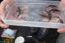 رصد السمكة المهددة بالانقراض بعد 10 سنوات من البحث