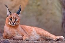 أكثر 10 قطط برية غريبة يربيها البعض كحيوانات أليفة
