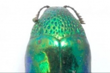 الاختباء تحت الأضواء: خنافس تستخدم بريقها الملون سلاحا