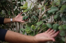 فاكهة الفيجوا تقطف لأول مرة في غزة بعد 10 سنوات ...