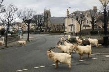 الماعز في ويلز والذئاب في سان فرانسيسكو.. كورونا يفتح شوارع ...
