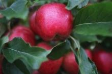 """تعرف إلى """"أغلى """" تفاحة عادية بالعالم"""