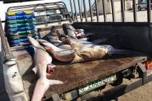 بالصور: صيادو غزة يلتقطون سمك القرش!
