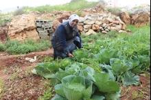 العقربانية: أكف خضراء وزراعات بيئية