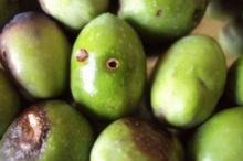 ذبابة أوراق الزيتون تهدد الموسم ودعوات لعدم اللجوء للمكافحة الكيماوية