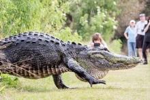 بالفيديو: تمساح كالديناصور يتجول في شوارع فلوريدا!