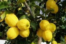 قلقيلية تباشر بتصدير محصول الليمون ِإلى الخارج من مجمل انتاج ...