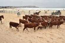 بالصور ...أبقار تجتاح شاطئاً أسترالياً.. لسبب غريب