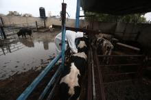 """مرض """"الحمى القلاعية"""" سريع الانتشار يفتك بذوات اللحوم الحمراء في ..."""