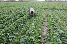 الضربات من جميع الاتجاهات على مزارعي غزة وآخرها رش إسرائيل ...