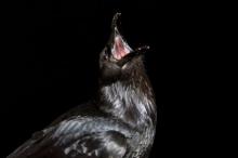 لماذا تقيم الغربان جنازات يعمها النعيق الصاخب والصراخ؟