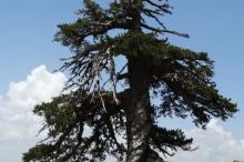 اكتشاف أقدم شجرة في أوروبا وعمرها 1075 عاما