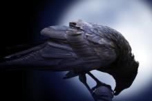 تصيح على موتاها حداداً وتبني الأدوات للوصول إلى مبتغاها.. الغربان ...