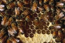 يعيش على سطح الارض منذ 65 مليون سنة...النحل أمة راقية ...