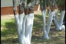 لماذا يتم طلاء سيقان الأشجار باللون الأبيض ؟