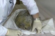 ثلوج سيبيريا تحتفظ برأس ذئب لـ32 ألف سنة