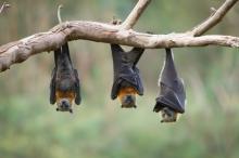 جسدها مستودع طبيعي لكورونا وإيبولا وسارس وغيرها.. فكيف تعيش الخفافيش ...