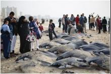 رغم أنه مهدد بالانقراض...الغزيون يصطادون سمك الوطواط كمصدر للغذاء والرزق