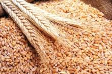 دراسة: القمح يعالج «ألزهايمر»